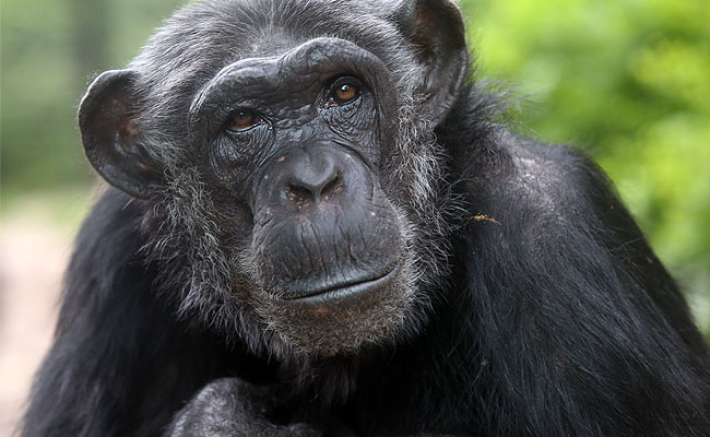 black chimpanzee exotic animal