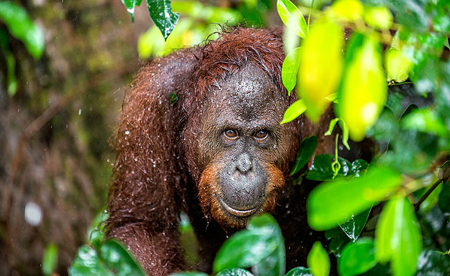 bornean orangutan exotic animal