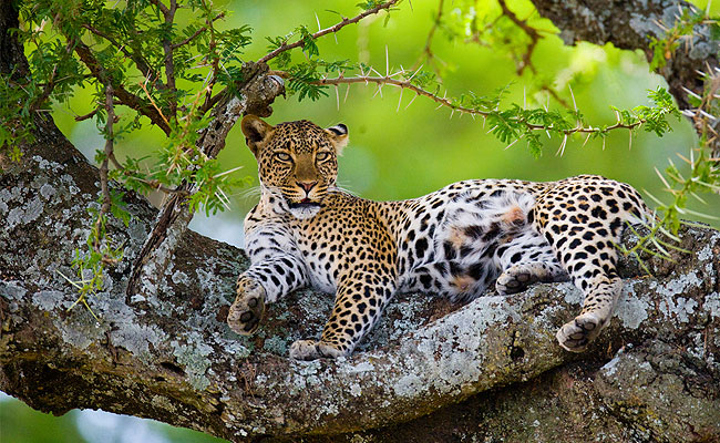 cheetah in tree exotic animal